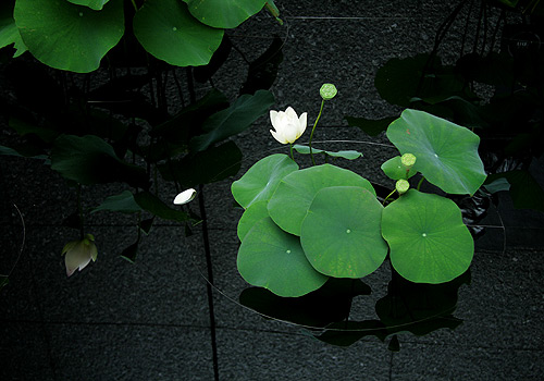 Lotus in Ginza
