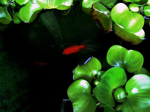 Kingyo Aquarium