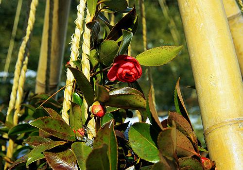 Tsubaki / Camellia Photo