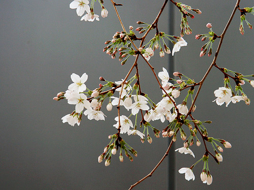 Sakura Photo by Wanda Proft
