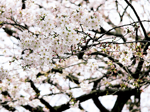 Sakura Photo by Wanda Proft